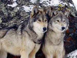 """Mit den Wölfen heulen! Der Höhepunkt der """"Wilden Wolfs-Woche"""" liegt im Besuch eines Tierparks mit echten Wölfen."""